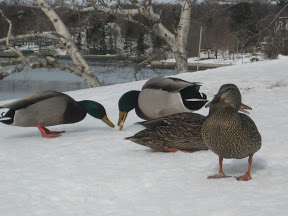Duck at the Dingle Tower in Halifax, Nova Scotia