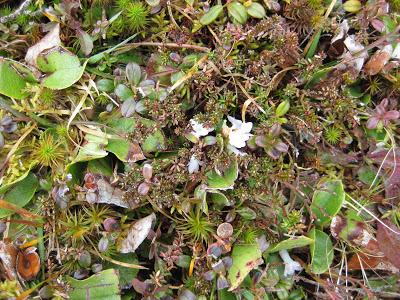 mayflowers in Nova Scotia
