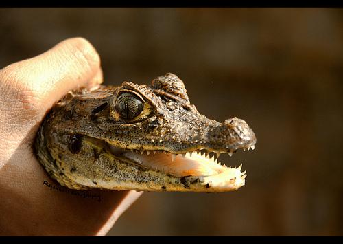 Juvenile Spectacled Caiman - Caiman crocodilus