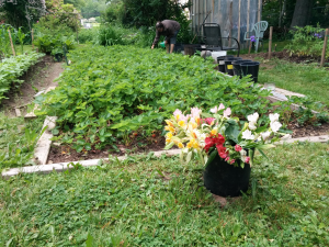 Guy's well-tended and fruitful strawberry patch.