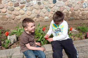 Cherries amidst the tulips