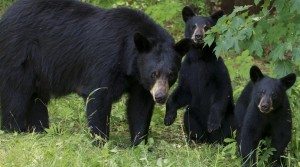 A black bear sow and her two cubs stand in a forest clearing - Ontario, Canada