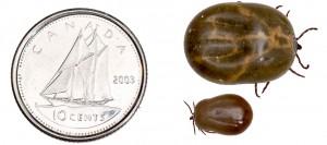 engorged-ticks